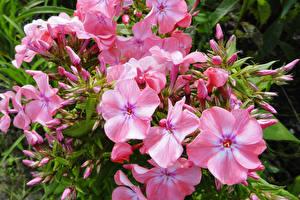 Обои Флоксы Крупным планом Розовый Цветы картинки