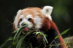 Фотография Малая панда Медведи Язык (анатомия) Животные