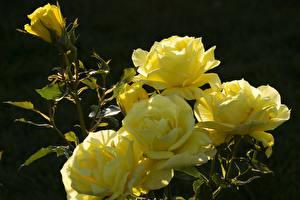 Картинки Розы Вблизи Желтая Цветы