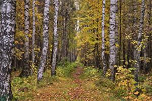 Картинка Россия Осенние Леса Березы Тропа Листья Pavlovsk