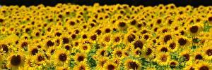 Картинки Подсолнечник Много Поля Цветы