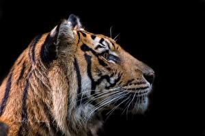 Картинка Тигры Голова Черный фон