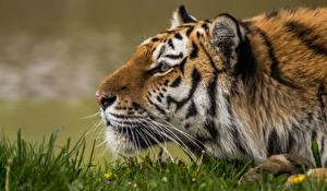 Фотография Тигры Голова Усы Вибриссы Морда
