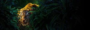 Фотография Тигры Книга джунглей 2016 Злость Sher-Khan Кино