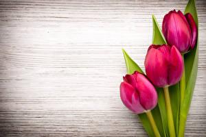 Фото Тюльпаны Вблизи Доски Втроем Красный Цветы