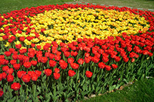 Обои Тюльпаны Много Цветы
