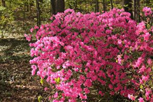 Обои Штаты Парки Рододендрон Кусты Розовый Kingman Park  Washington Цветы