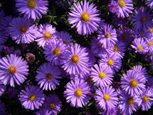 Картинки Астры Крупным планом Фиолетовый Цветы