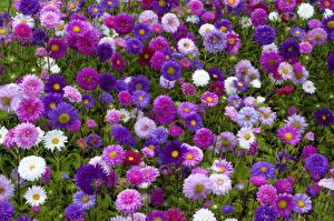 Обои Астры Много Разноцветные Цветы