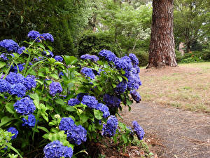 Обои Австралия Гортензия Фиолетовый George Tindale Memorial Garden in Sherbrooke Природа