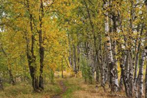 Фото Осень Березы Тропа Деревьев Природа