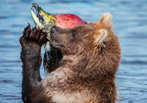 Фотография Медведи Рыбы Ловля рыбы Животные