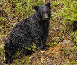 Картинки Медведи Бурые Медведи Смотрит Мокрые Животные