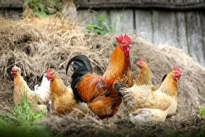 Картинки Курица Петух Животные