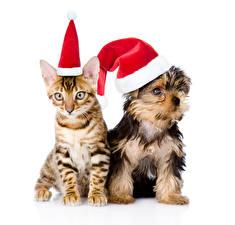 Обои Новый год Кошки Собаки Белый фон Двое Йоркширский терьер Шапки Животные картинки