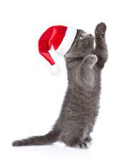 Фото Новый год Коты Белый фон Котята Шапки Лапы Серый Животные