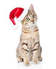 Фотография Рождество Кошки Белый фон Шапки Смотрит