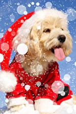 Фотография Рождество Собаки Болоньез Язык (анатомия) Шапки Снежинки Животные