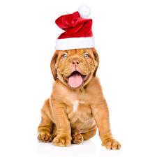 Фотографии Новый год Собаки Белый фон Бордоский дог Шапки Язык (анатомия) Животные