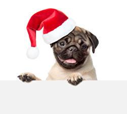 Обои Рождество Собаки Белый фон Мопс Шапки Смотрит