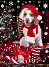 Картинки Рождество Праздники Собаки Шапки Язык (анатомия) Подарки Шарф Бантик Бигль Животные