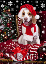 Картинки Новый год Праздники Собаки Шапка Языком Подарки Шарф Бант Бигль животное