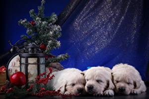 Фотография Новый год Ретривер Щенки Втроем Животные