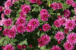 Фотографии Хризантемы Вблизи Розовая Цветы