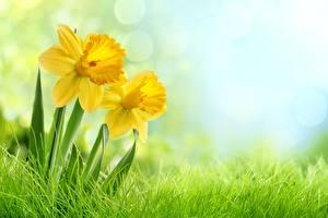 Обои Нарциссы Трава Цветы