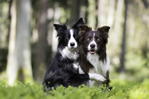 Фотографии Собаки Бордер-колли 2 Смотрит