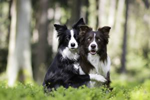 Фотографии Собака Бордер-колли Двое Смотрят Животные