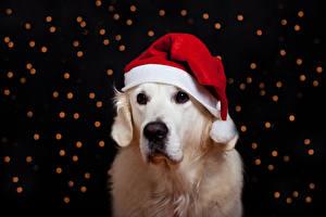 Картинки Собаки Рождество Ретривер Шапки