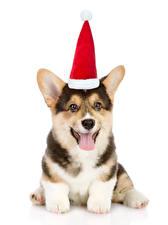 Картинки Собаки Рождество Белый фон Вельш-корги Шапки Язык (анатомия) Смотрит Животные