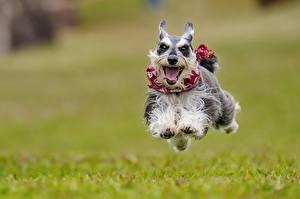 Фотография Собаки Бег Прыжок Язык (анатомия) Цвергшнауцер Животные