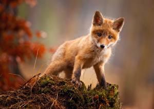 Фото Лисы Детеныши Миленькие Животные