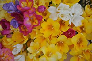 Картинка Фрезия Вблизи Разноцветные Цветы