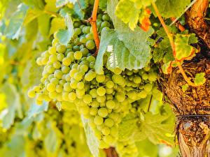 Обои для рабочего стола Виноград Зеленый Пища