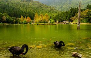 Фото Япония Реки Леса Осенние Лебеди Двое Черный Животные