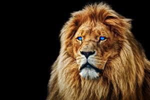 Обои Львы Черный фон Морда Животные