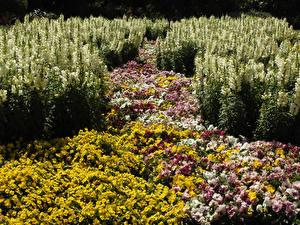 Фотографии Мельбурн Австралия Львиный зев Фиалка трёхцветная Много Сады St Kilda Botanical Gardens Цветы