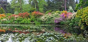 Картинка Парки Пруд Рододендрон Кусты Природа