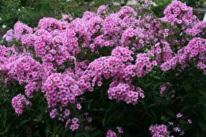 Обои Флоксы Много Розовая Цветы