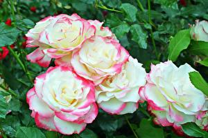 Фотографии Розы Вблизи