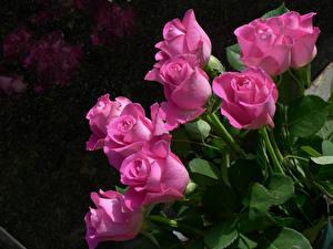 Картинка Розы Крупным планом Розовый Цветы
