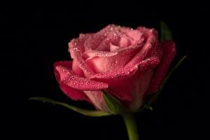 Фотографии Розы Крупным планом Розовый Капли Черный фон Цветы