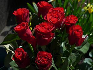 Фото Розы Крупным планом Красный Цветы