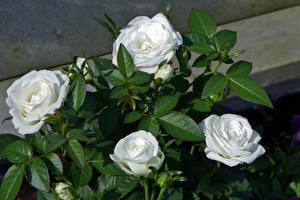 Фото Розы Крупным планом Белый Цветы