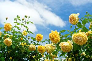 Обои Розы Желтый Кусты Цветы картинки