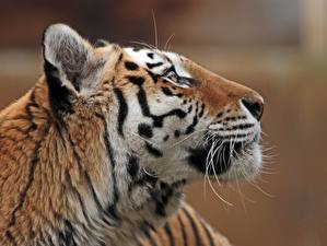 Обои Тигры Уссурийский Вблизи Голова Животные