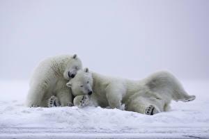 Фотография Медведи Белые Медведи Двое Снег Сон Животные